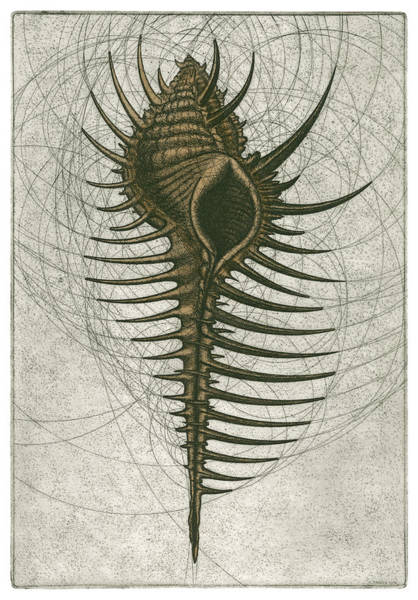 Atlantic Ocean Drawing - Venus Comb Murex by Charles Harden