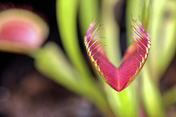 Wall Art - Photograph - Venus Fly Trap by JC Findley