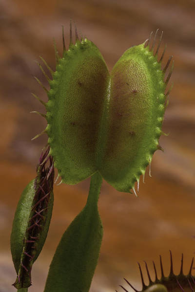 Trapping Photograph - Venus Flytrap by Garry Gay