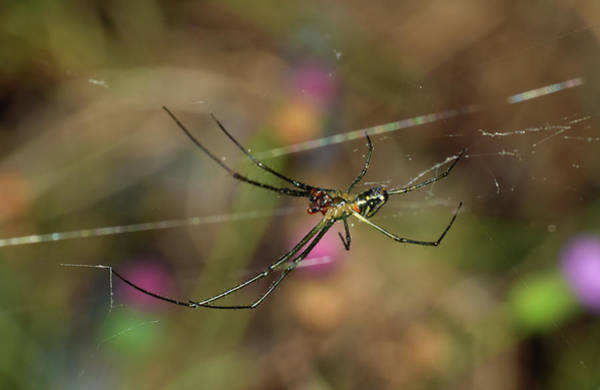 Photograph - Venusta Orchard Spider by Larah McElroy