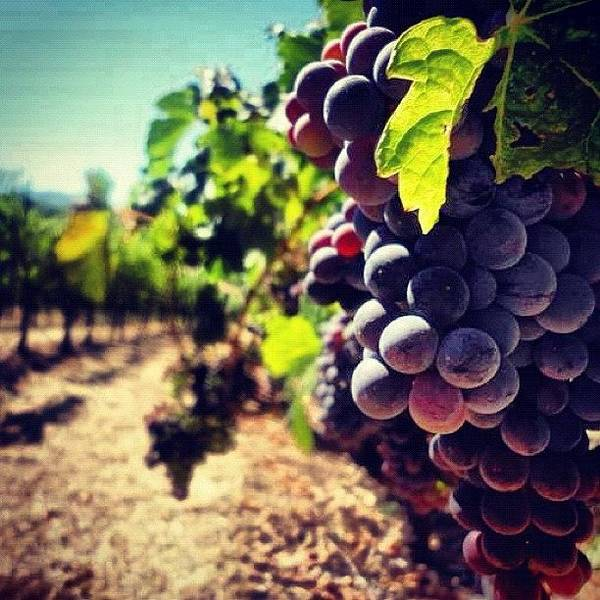 Wine Wall Art - Photograph - Verasion In The Vineyards by Crystal Peterson