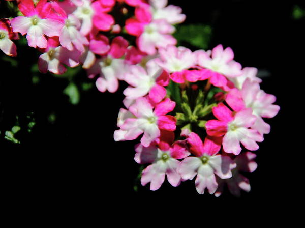 Photograph - Verbena Sparkle by Allen Nice-Webb