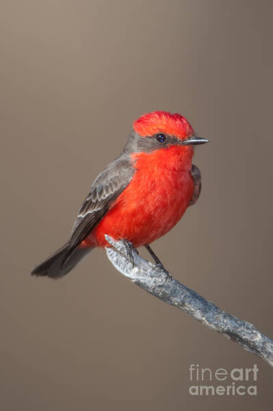 Clarence Photograph - Vermilion Flycatcher by Clarence Holmes