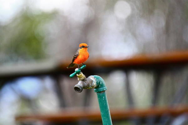 Photograph - Vermilion Flycatcher Two by Diana Hatcher