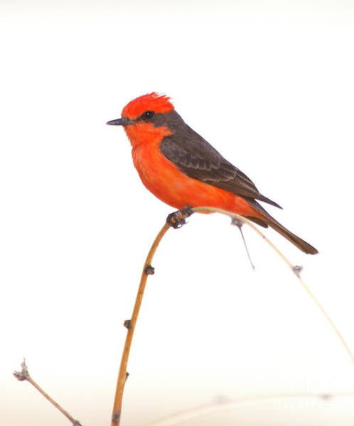 Wall Art - Photograph - Vermillion On A Branch  by Ruth Jolly