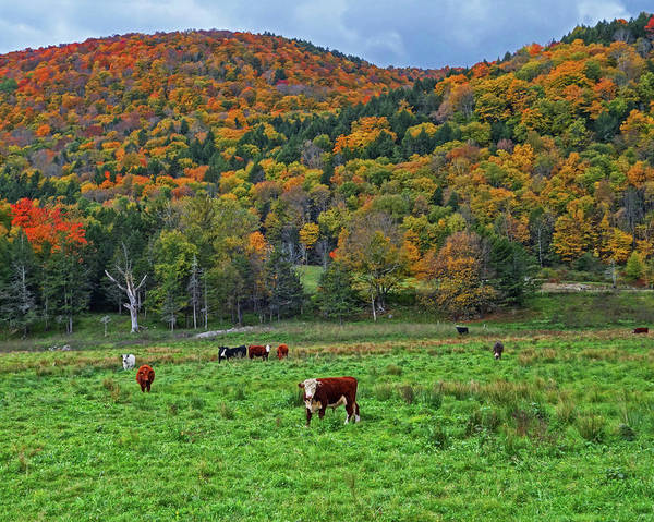 Photograph - Vermont Farm With Cows Autumn Foliage by Toby McGuire