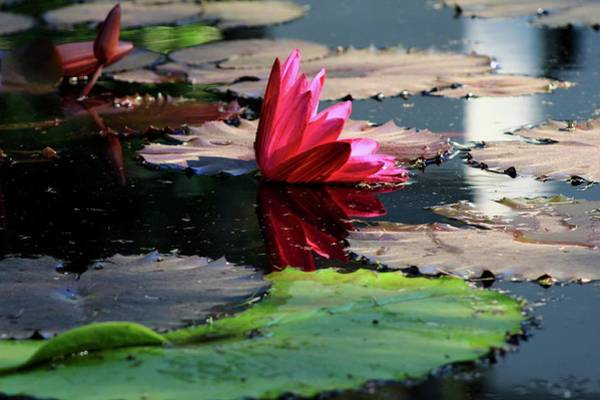 Wall Art - Photograph - Water Lily by Kevin Wheeler