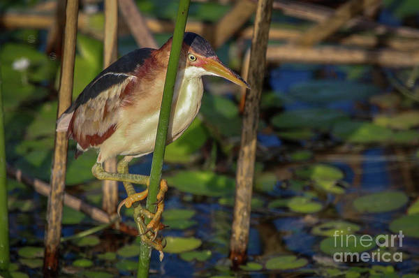 Photograph - Vertical Perch Bittern by Tom Claud