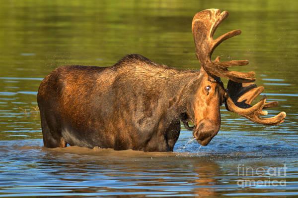 Photograph - Vertigo Moose by Adam Jewell