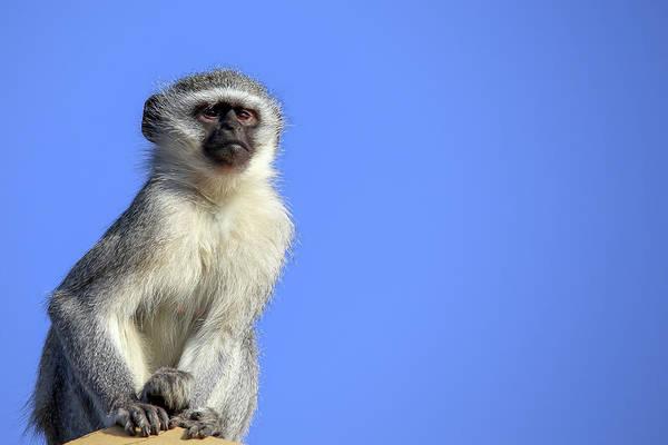 Wall Art - Photograph - Vervet Monkey by Paul Fell