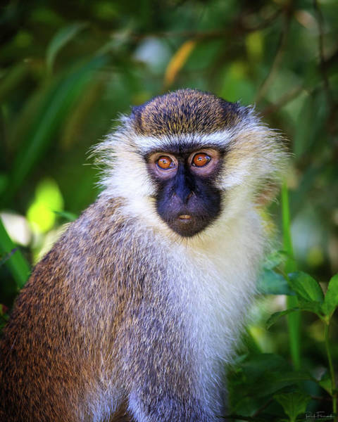 Photograph - Vervet Monkey by Rick Furmanek