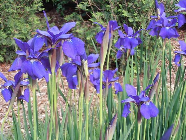 Skippy Wall Art - Photograph - Very Blue Japanese Iris by Tim Donovan