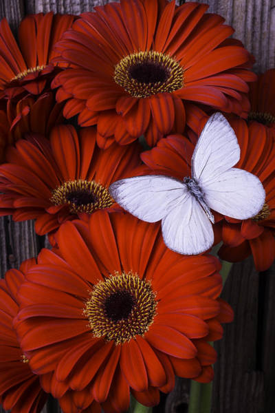 Gerbera Daisy Photograph - Very Red Daisies With Butterfly by Garry Gay