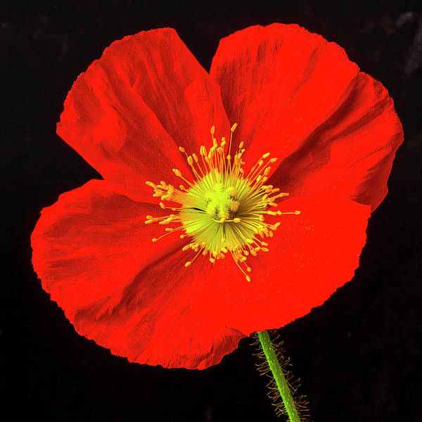 Wall Art - Photograph - Very Red Poppy by Garry Gay
