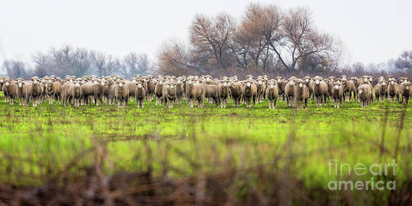 Photograph - Very Sheepish by Anthony Bonafede