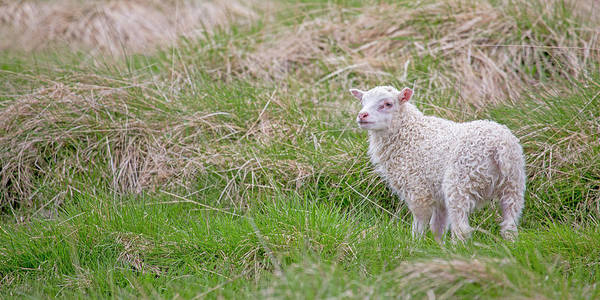 Lamb Photograph - Veterinarian Where's My Momma by Betsy Knapp