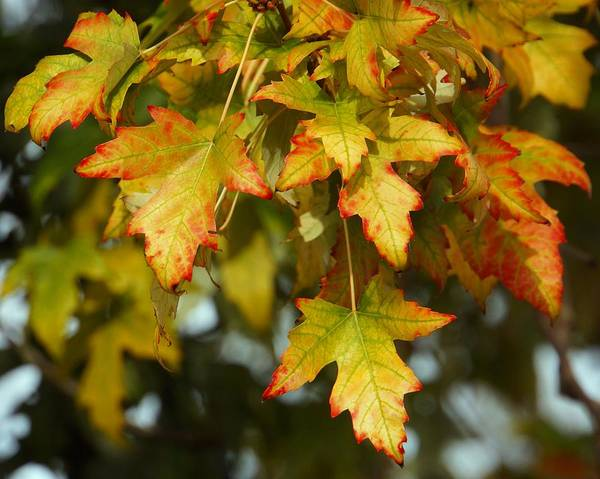 Photograph - Vibrant Autumn Leaves by Patricia Strand