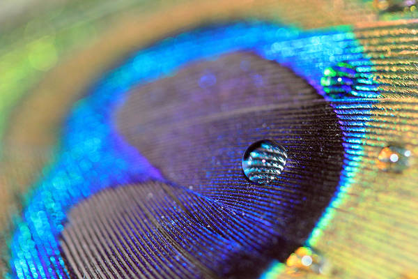 Photograph - Vibrant Blue Water Drop And Feather by Angela Murdock