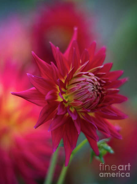 Wall Art - Photograph - Vibrant Dahlia Garden Light by Mike Reid