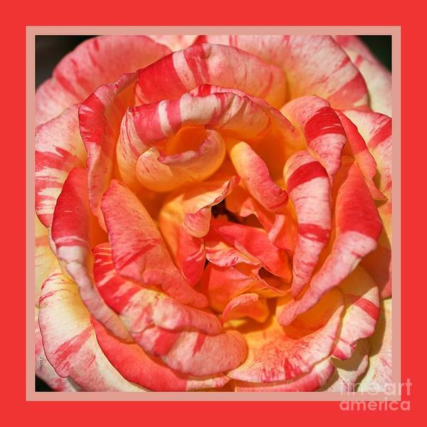 Wall Art - Photograph - Vibrant Two Toned Rose With Design by Joy Watson