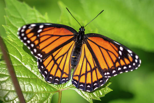 Photograph - Viceroy Butterfly by Randy Scherkenbach