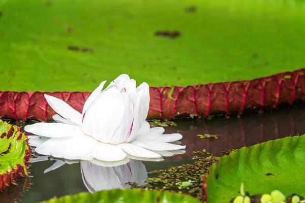Victoria Amazonica Wall Art - Photograph - Victoria Amazonica Flower Closeup by Jess Kraft