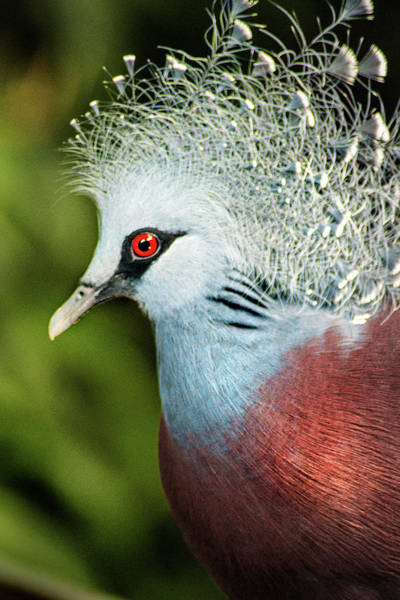 Photograph - Victoria Crowned Pigeon by Don Johnson