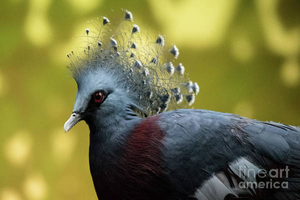 Photograph - Victoria Crowned Pigeon by Ed Taylor