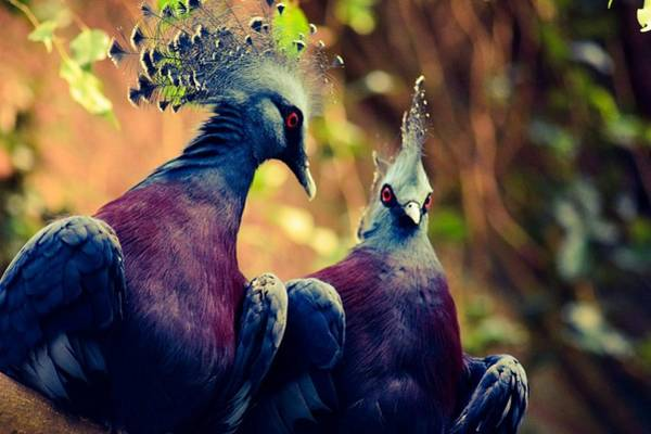Wall Art - Photograph - Victoria Crowned Pigeons by Shelley Smith