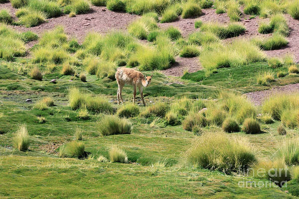 Wall Art - Photograph - Vicuna Grazing In A River Valley In The Atacama Desert Chile by Louise Heusinkveld