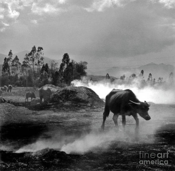 Photograph - Vietnamese Water Buffalo  by Silva Wischeropp