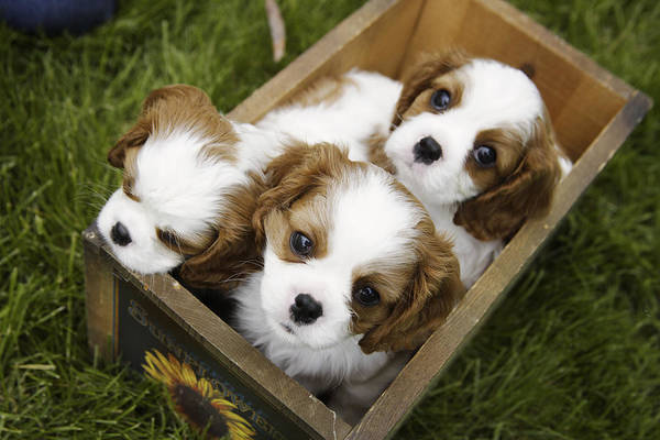 Spaniel Photograph - View From Above Of Three Puppies by Gillham Studios