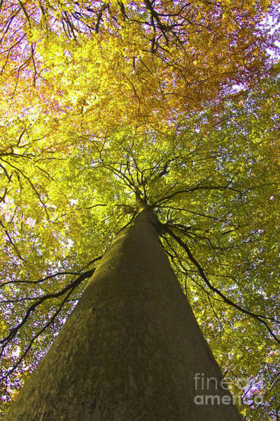 Photograph - View To The Top Of Beech Tree by Heiko Koehrer-Wagner
