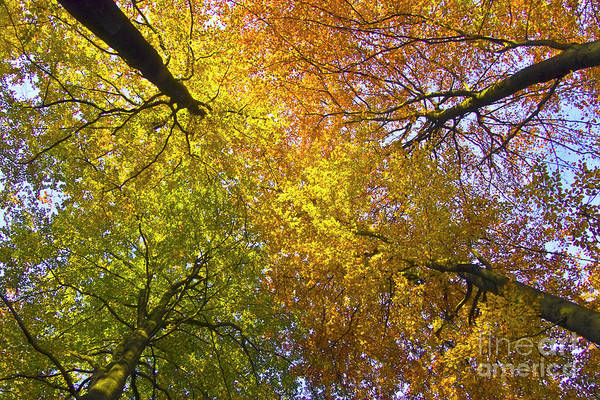 Photograph - View To The Top Of Beech Trees by Heiko Koehrer-Wagner