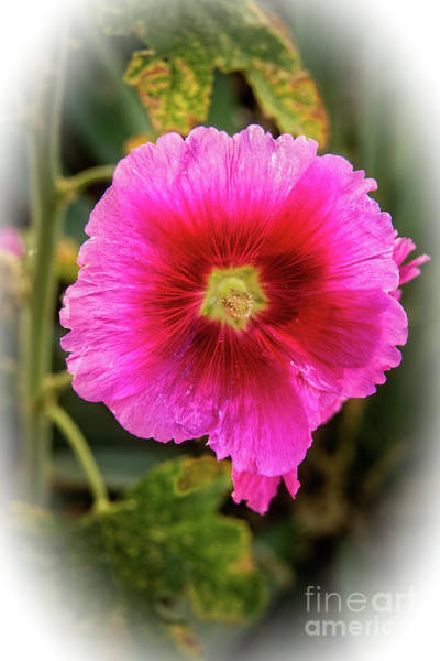 Vigenetted Hollyhock Art Print