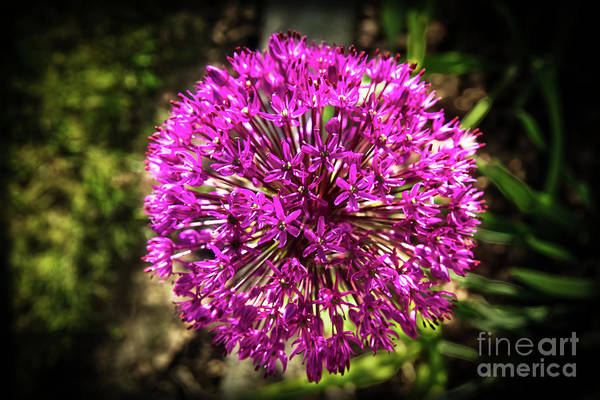Scallion Photograph - Vignetted Allium by Robert Bales