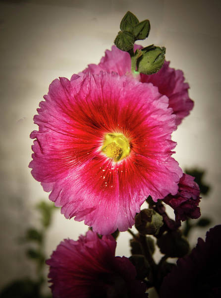 Alcea Photograph - Vignetted Hollyhock by Robert Bales