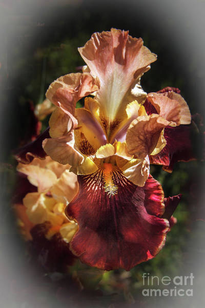 Bisexual Photograph - Vignetted  Iris by Robert Bales