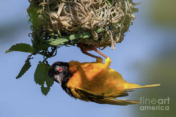 Wildbird Photograph - Village Weaver Ploceus Cucullatus Bird Nest Building by Simon Bratt Photography LRPS