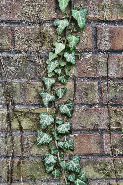 Photograph - Vine Brick by Sharon Popek