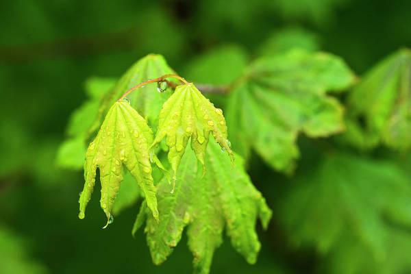 Photograph - Vine Maple In The Rain by Robert Potts