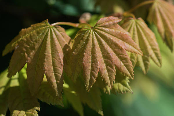 Photograph - Vine Maple Leaves by Robert Potts