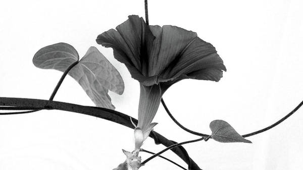 Photograph - Vine Offering B And W by Robin Webster