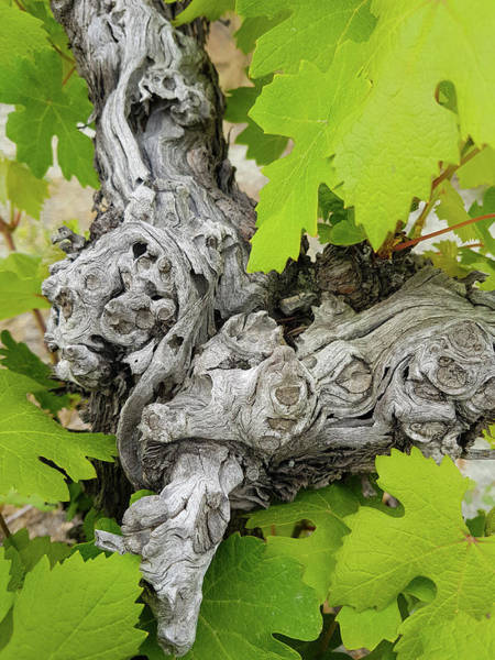 Nature Wall Art - Photograph - Vine Trunk And Leaves Color Abstract 1 by Iordanis Pallikaras