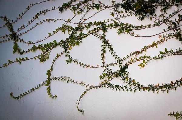 Photograph - Vines by Michael Raiman