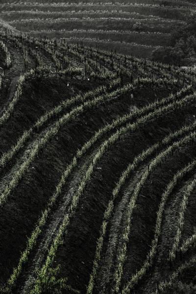 Photograph - Vineyard 06 by Edgar Laureano