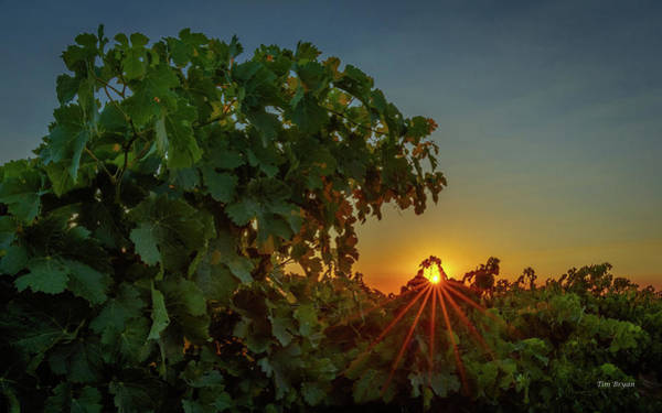 Photograph - Vineyard Canopy Sunrise by Tim Bryan