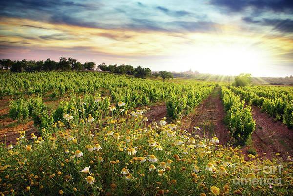Grapevine Photograph - Vineyard by Carlos Caetano