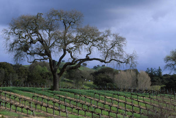 Solvang Photograph - Vineyard - Foxen Canyon by Soli Deo Gloria Wilderness And Wildlife Photography