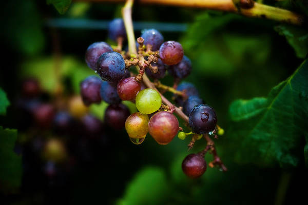 Photograph - Vineyard Grapes by Mark Currier